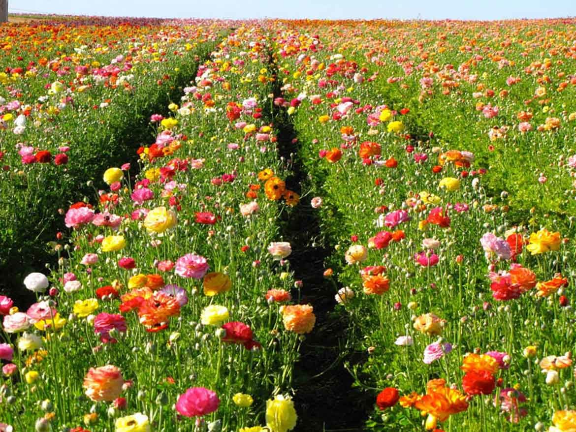 Visit The Flower Fields In Carlsbad Garden Destinations Magazine