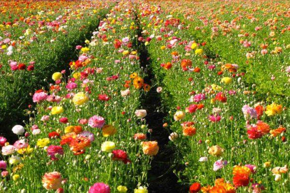 Flower Power in California / Lisa Meyers McClintick