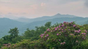 Rhododendrons in Blue Ridge Mountains