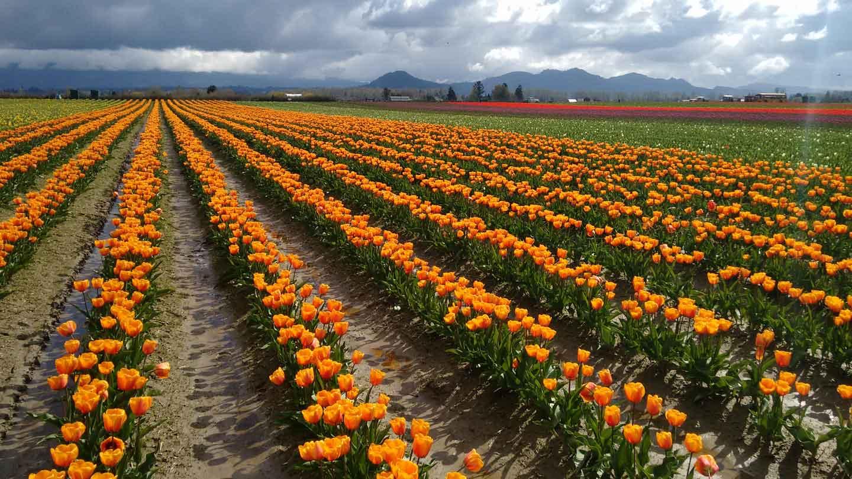 Tulip Festival in the Skagit Valley | Garden Destinations Magazine
