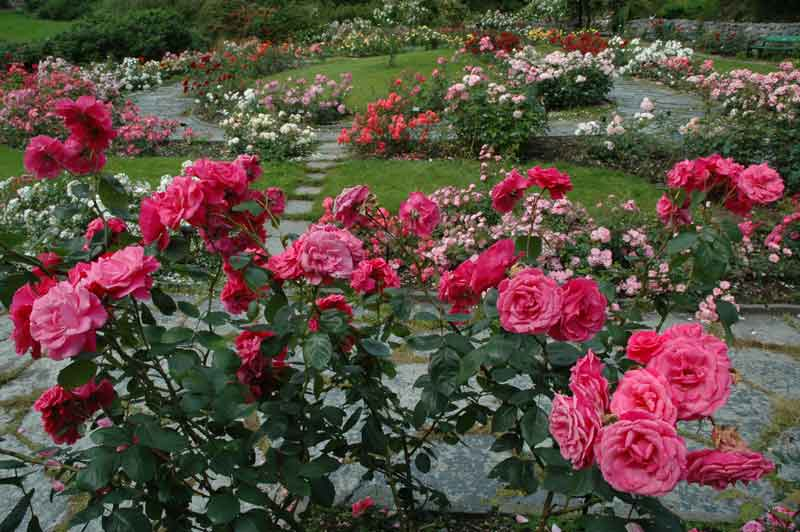 Rose Garden Norway