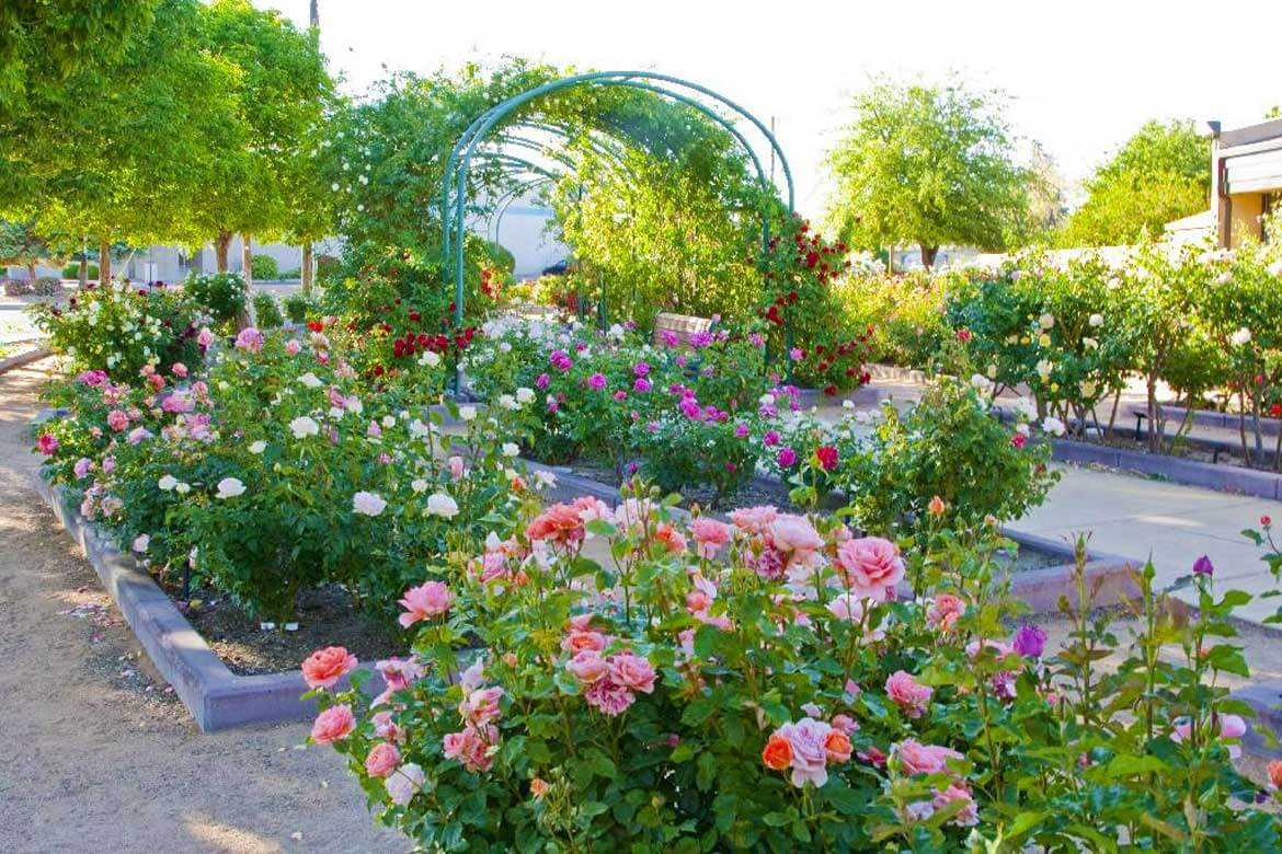 Roses In Garden: Strolling The Albuquerque Rose Garden