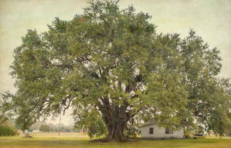 Blanchard Oak in Louisiana