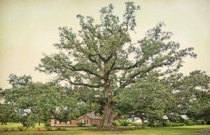 Boudreaux Oak in Louisiana