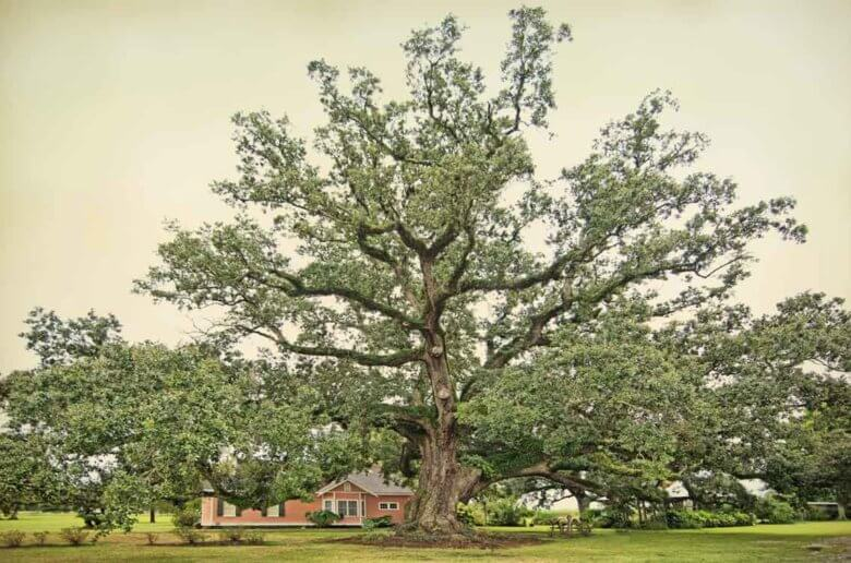 Boudreaux Oak in Louisiana