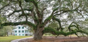 Live Oak at E.D. White Plantation