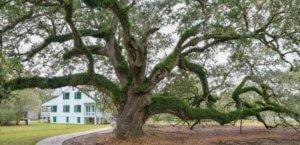 Live Oak at E.D. White Plantation