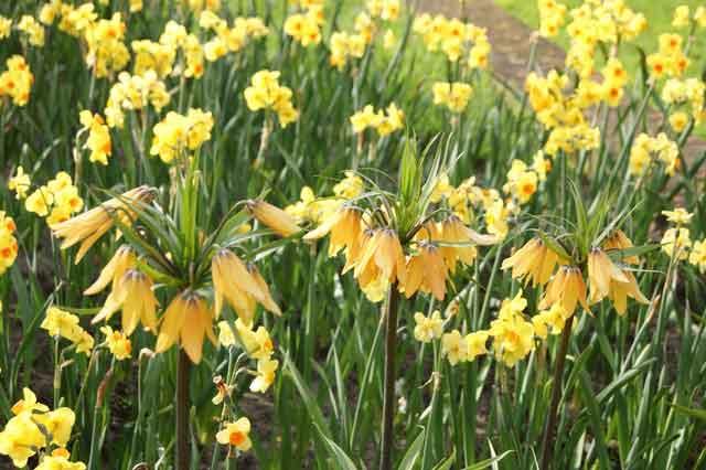 Daffodials-frittalarias