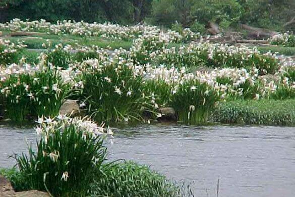 Rocky Shoals Water Lilies