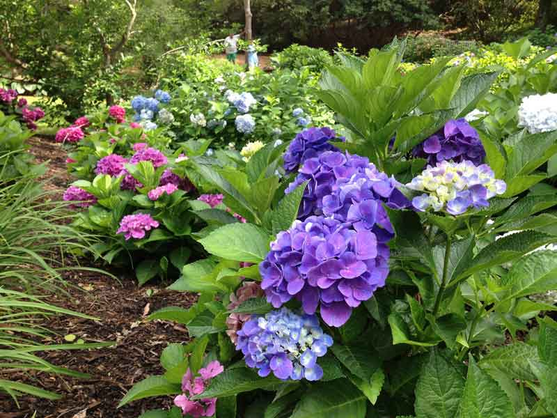 Hydrangeas at the Heritage Museum and Gardens