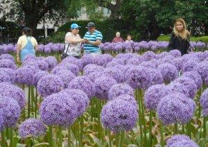 Allium in Boston