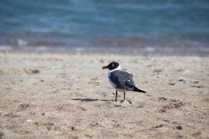 Redbilled Seagull