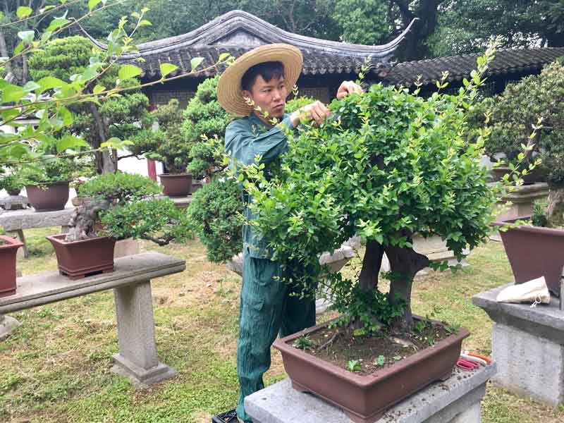 Lesson with a bonsai master at Tiger Hill in Suzhou, China