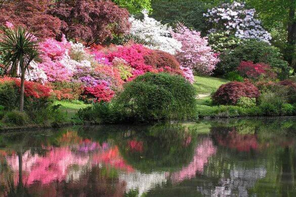 Azaleas in bloom at Exbury Gardens