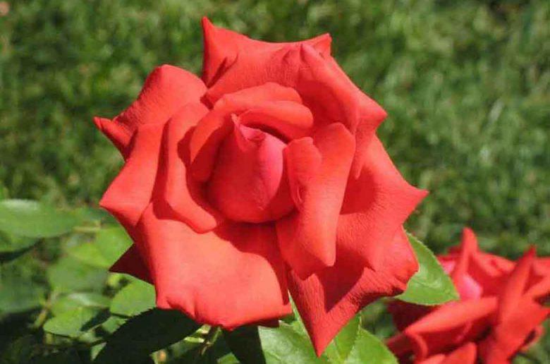 Dolly Parton rose